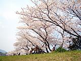 賀茂川沿いの桜