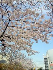 090404_sakura2.jpg