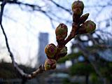 浜離宮恩賜庭園の桜の蕾