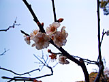 浜離宮恩賜庭園の梅の花