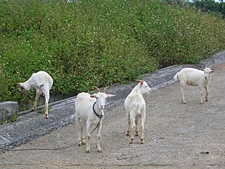 小浜島 農道のヤギ